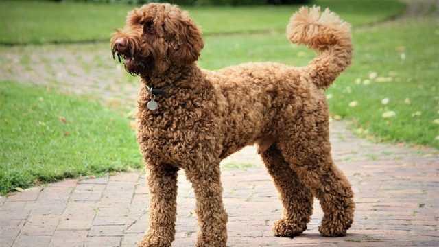 Labradoodle is top dog in Detroit