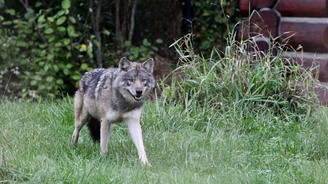 Detroit Zoo welcomes new female gray wolf Renner
