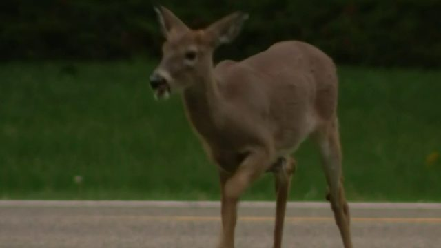 Should deer cull return to Grosse Ile? Growing population raises safety concerns