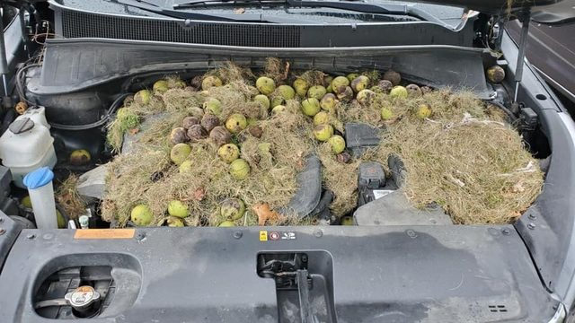 Pittsburgh couple finds hundreds of walnuts burrowed under car hood