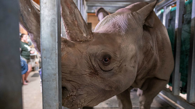 Critically endangered black rhino expecting baby at Lansing zoo