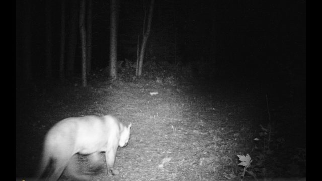 Michigan DNR confirms 2 more cougar sightings